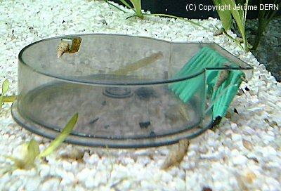 petits escargots aquarium